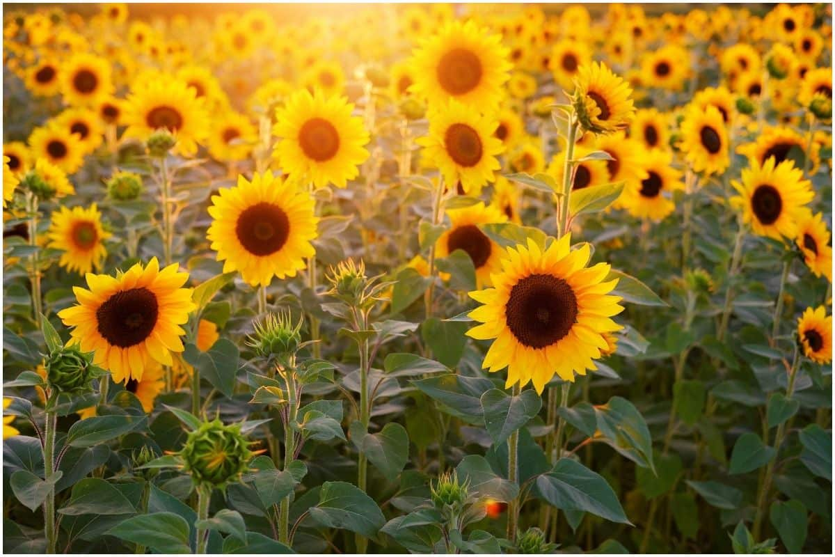 Sunflower Lecithin Powder Benefits And Side Effects